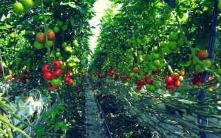 Как получить небывалый урожай томатов