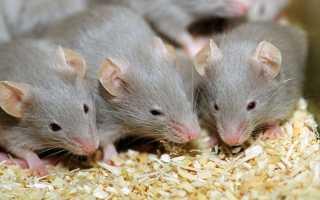 Избавляемся от мышей за 0 рублей